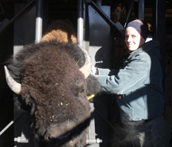 Managing Brucellosis in Bison, Montana, USA