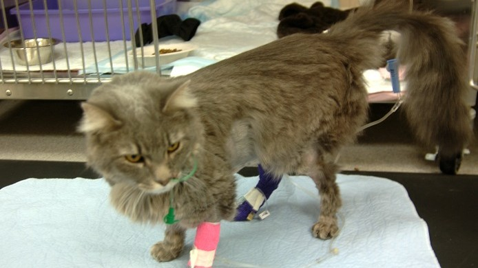 Phoebe a cat from Missouri saved by dialysis